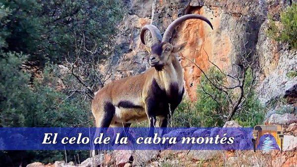 Celo de la cabra montés en las Lagunas de Ruidera