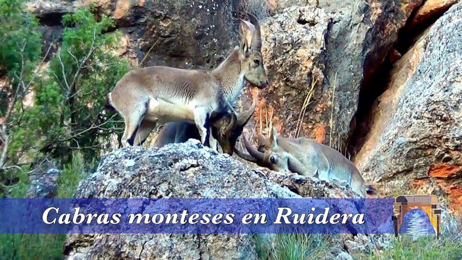 Cabras monteses en las Lagunas de Ruidera