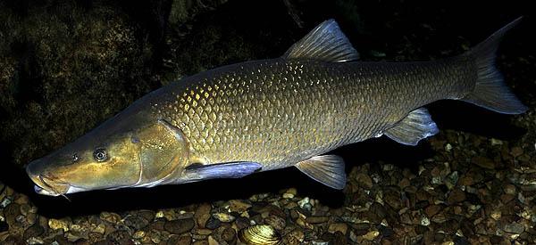 Especies pescadas en las Lagunas de Ruidera barbo comizo